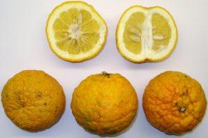 Pomaranče Laraha